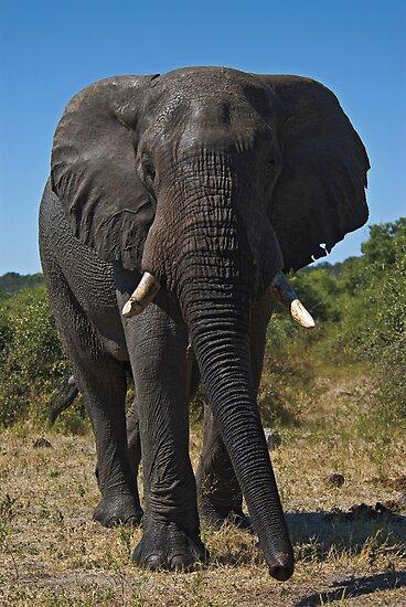 African Elephant (Loxodonta africana) by Konstantinos Arvanitopoulos
