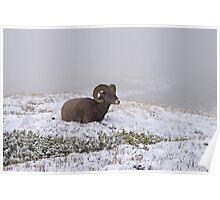 Bighorn sheep. Poster