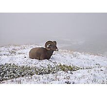 Bighorn sheep. Photographic Print