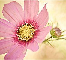 Pink Cosmos by ElidArt