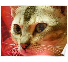 Lilly the cat Poster