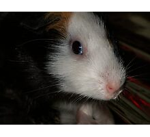 Guinea Pig Photographic Print