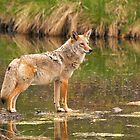 Coyote crossing a stream. by Philippe Widling