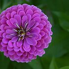 Bright Purple flower with lots of petals by PhotoCrazy6