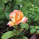 Rose by AuntieBarbie