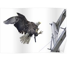 Landing Location - American Bald Eagle Poster