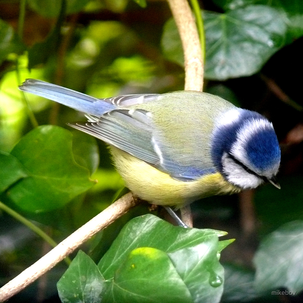 Blue Tit by mikebov