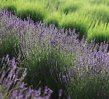 Warratina Lavender Farm ~ Jenni Tanner by Jenni Tanner