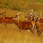 Red Deer Herd by Paul Adkin