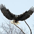 Bald Eagles by BartElder