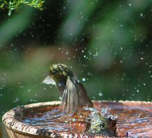 Silvereyes bathtime by Mike Edwards