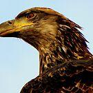 Bald Eagle Portrait #2 by lanebrain photography