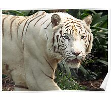White Tiger on the prowl  Poster