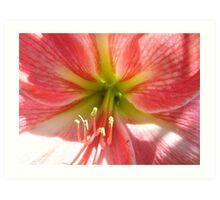 Pink Hippeastrum Glow-(Floral Macro) Art Print