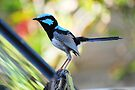 'Superb Fairy-wren' by Ian Berry