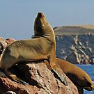 South American Sea Lions (Otaria byronia) by Konstantinos Arvanitopoulos