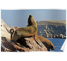South American Sea Lions (Otaria byronia) Poster