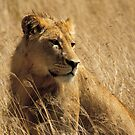 Lion (Panthera leo) by Konstantinos Arvanitopoulos