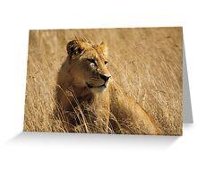 Lion (Panthera leo) Greeting Card