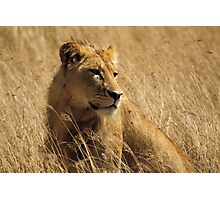 Lion (Panthera leo) Photographic Print