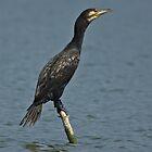 Cormorant (Phalacrocorax carbo) by Konstantinos Arvanitopoulos