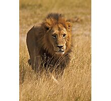 Mature male lion Photographic Print