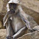 Hanuman Langur (Semnopithecus entellus) by Konstantinos Arvanitopoulos