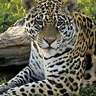 Jaguar (Panthera onca) by Konstantinos Arvanitopoulos