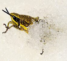 Spotted Mountain Grasshopper by helmutk