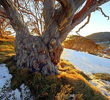 Alpine Eucalypt  Charlotte pass by helmutk