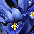 Iris No 2 by Martina Fagan