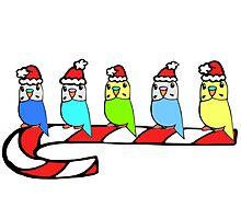 Budgies- Christmas Photographic Print