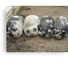 sleeping pigs Canvas Print