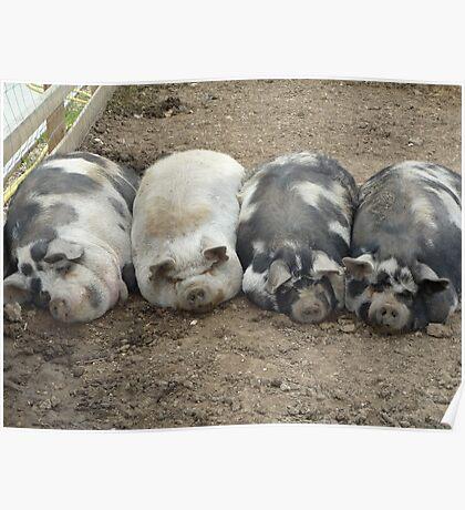 sleeping pigs Poster