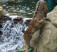 Jaguar by rnrphoto98