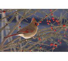 Red Bird Red Fruit Photographic Print