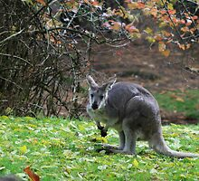 wallaby by rnrphoto98