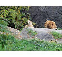 Lion serenade Photographic Print