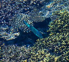 Tropical fishes in the Maldives, Laccadivian Sea by Digital Editor .