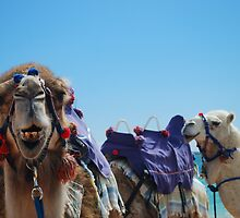 Camel Curiosity by tinagphotos