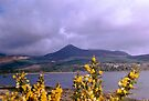 Gorse, Isle Of Arran, Scotland by MagsWilliamson