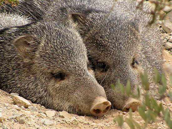 Happy as two Pigs in....... by Kimberly Chadwick