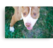 pit bull gaze Canvas Print
