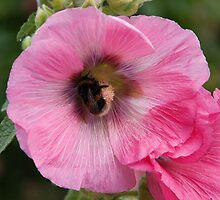 Honey Bee, Hard At Work by Andy Leslie