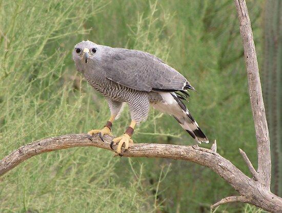 Grey Hawk by Kimberly Chadwick