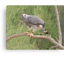 Grey Hawk Canvas Print