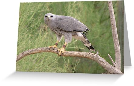 Grey Hawk by Kimberly Chadwick