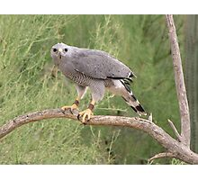 Grey Hawk Photographic Print