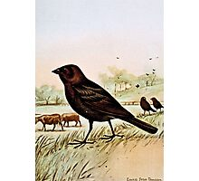 Cowbird by Ernest Seton Thompson Photographic Print