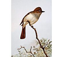 Crested Flycatcher Vintage Art Photographic Print